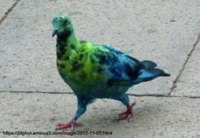 pigeon-4