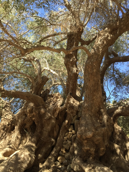 olivier de Kavousi, Crète.